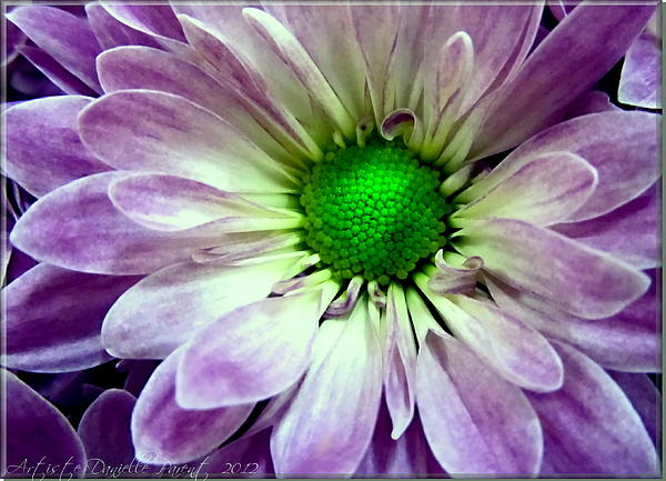 Nature Photograph - White And Purple Daisy by Danielle  Parent