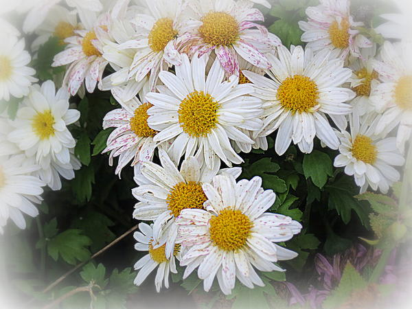 Daisies Photograph - White Daisies by Kay Novy