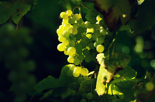 White Grapes Photograph by Photo by Ira Heuvelman-Dobrolyubova