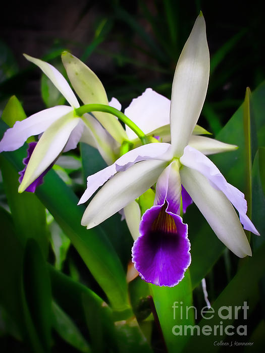 Orchid Photograph - White Orchids by Colleen Kammerer