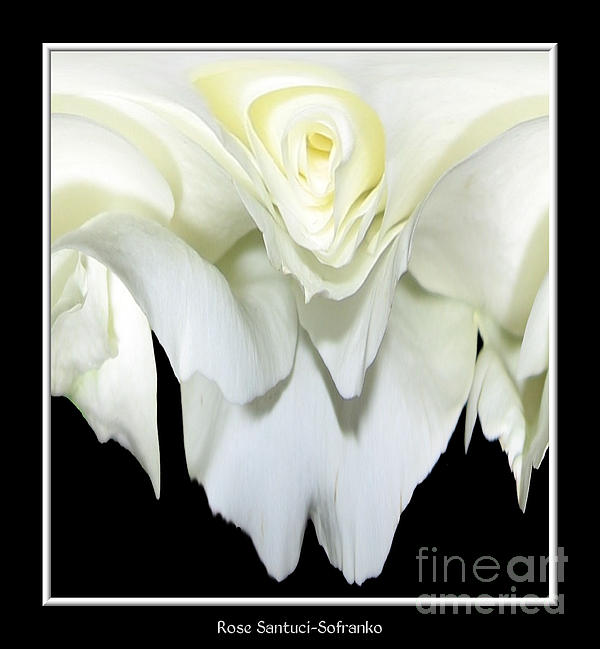 White Rose Photograph - White Rose Abstract by Rose Santuci-Sofranko