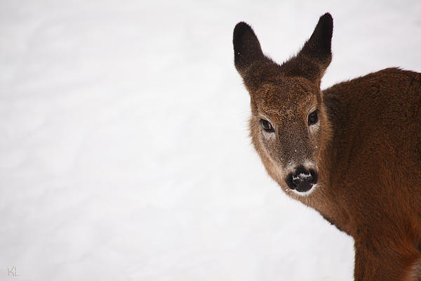 Deer Photograph - White Tail Babe by Karol Livote