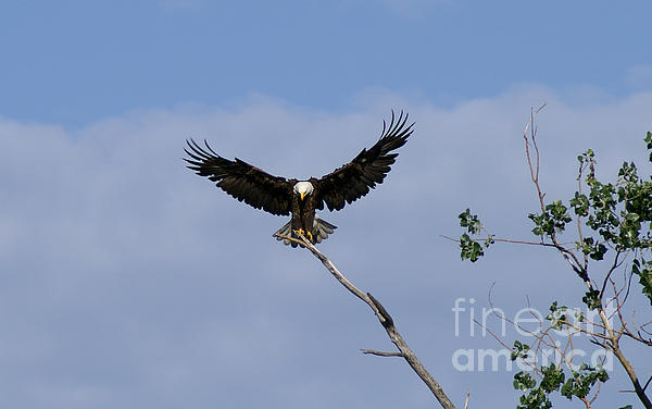 Bald Eagle Photograph - Wide Open by Lori Tordsen
