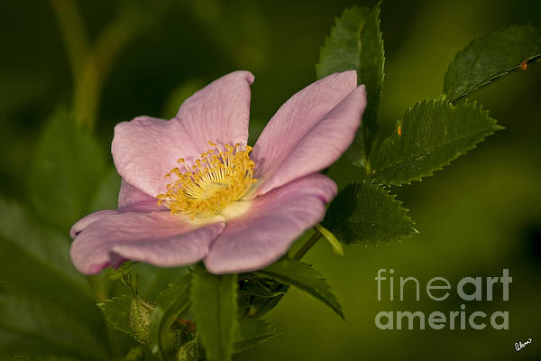 Rose Photograph - Wild Rose by Alana Ranney