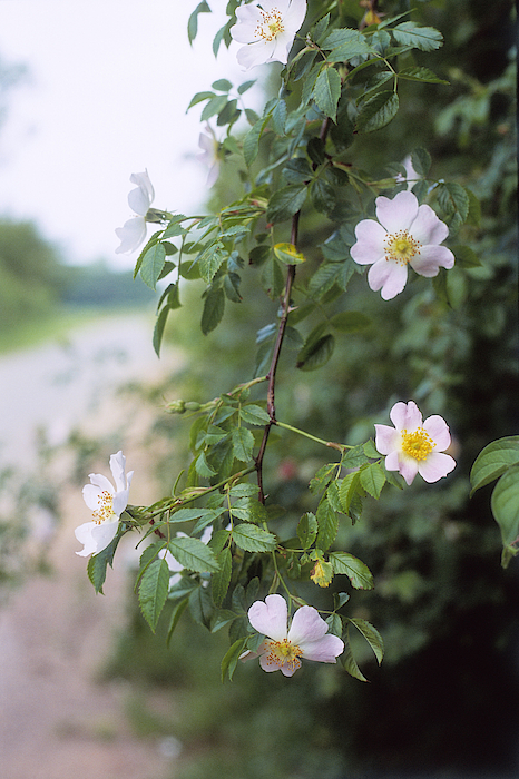Wild Rose (rosa Canina) Growing In Hedgerow, Suffolk, June Photograph by Janet Johnson