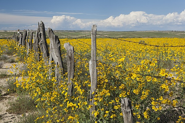 Barbed Wire Photograph - Wildflowers Surround Rustic Barb Wire by David Ponton