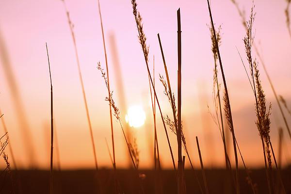 Wild Grass Pyrography - Wildgrass Sunset by David Schoenheit