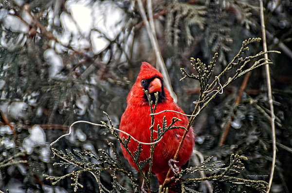 Animals Photograph - Winter Cardinal 03 by Thomas Woolworth