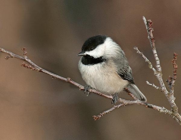 Chickadee Photograph - Winter Contemplation by Lara Ellis