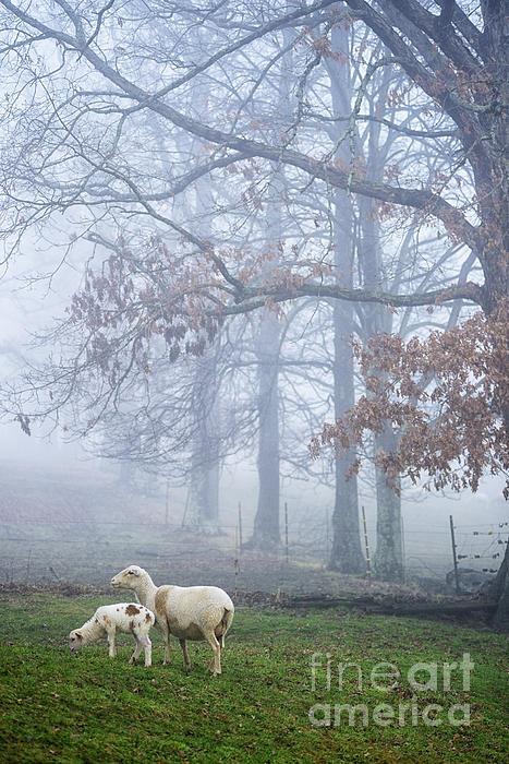 Lamb Photograph - Winter Lambs And Ewe Foggy Day by Thomas R Fletcher