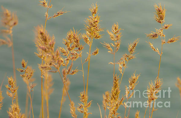 Blue Photograph - Wispy Grass by Sarah Crites