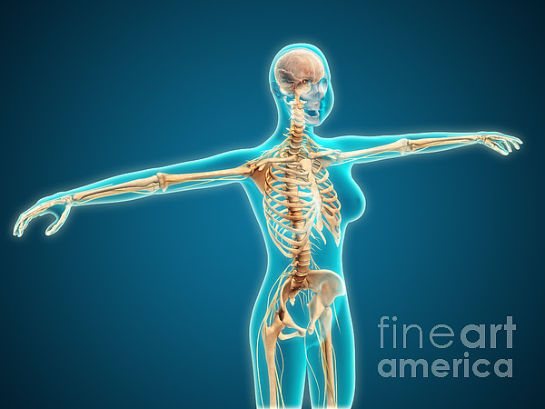 Connection Digital Art - X-ray View Of Female Body Showing by Stocktrek Images