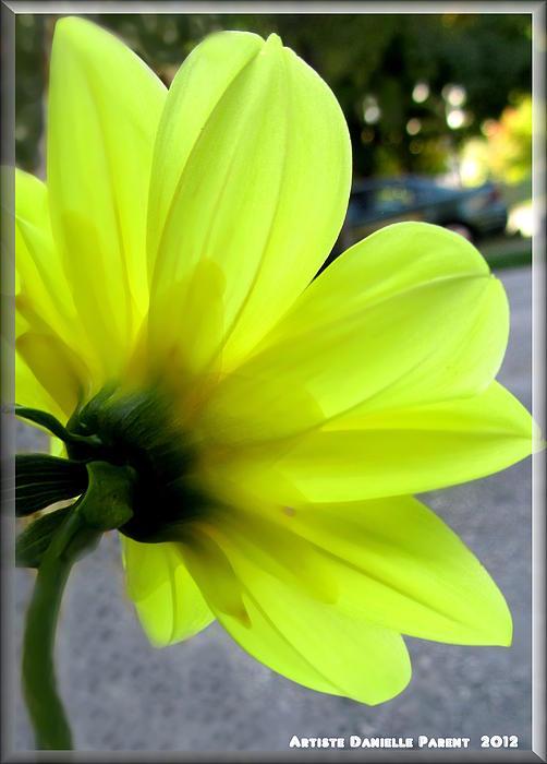 Dahlia Photograph - Yellow Dahlia Bloom by Danielle  Parent