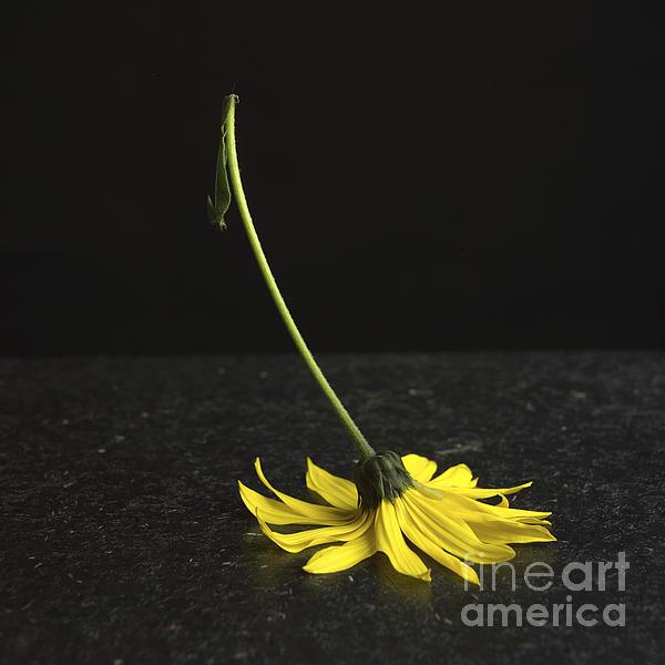 Cut Out Photograph - Yellow Daisy by Bernard Jaubert