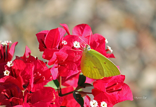 Butterfly Photograph - Yellow On Fuschia by Suzanne Gaff