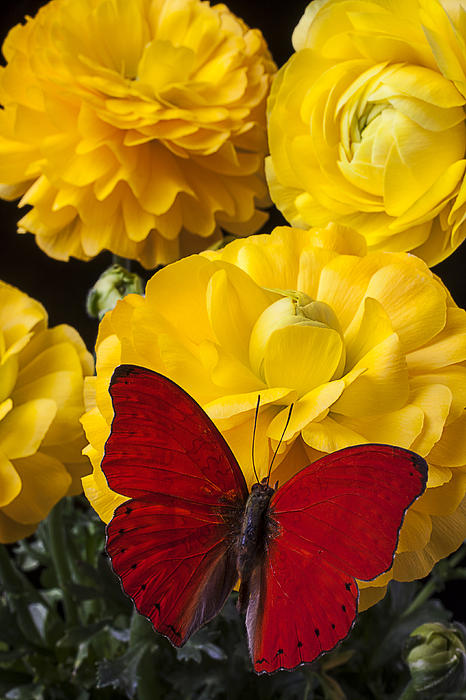 Red Butterfly Photograph - Yellow Ranunculus And Red Butterfly by Garry Gay