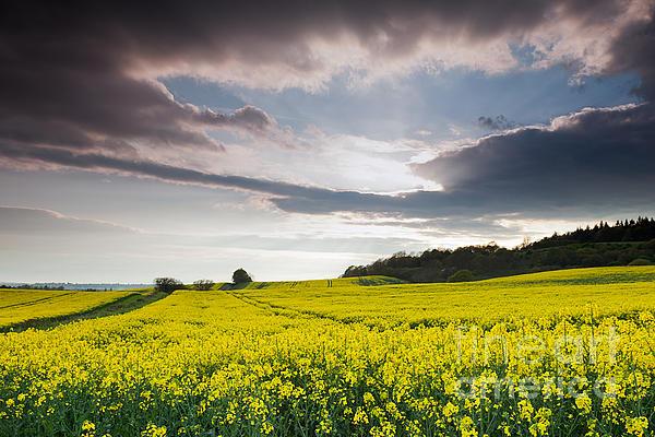 Yellow Photograph - Yellow Rapeseed Field Beautiful by Boon Mee