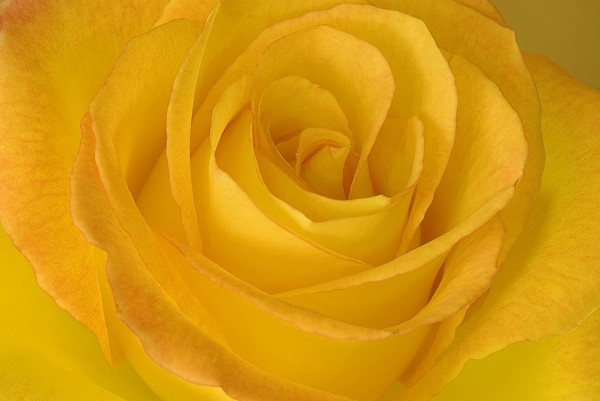 Blooming Photograph - Yellow Tea Rose by John Pitcher