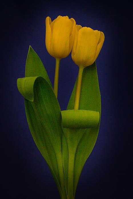Tulip Photograph - Yellow Tulips On A Blue Background by Eva Kondzialkiewicz