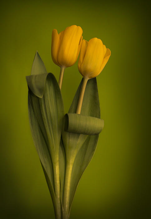 Tulip Photograph - Yellow Tulips On A Green Background by Eva Kondzialkiewicz