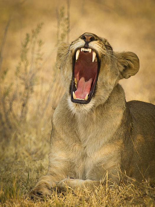 Lioness Photograph - Yes Mom I Brushed My Teeth by Alison Buttigieg