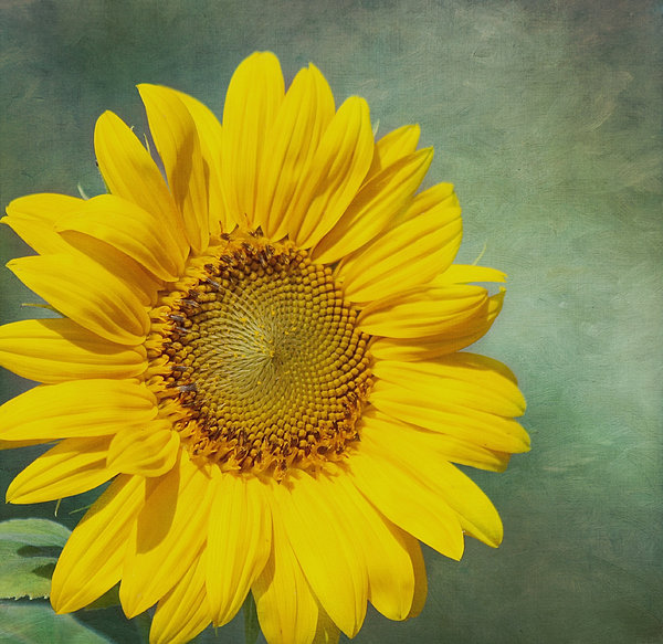 Yellow Flower Photograph - You Are My Sunshine by Kim Hojnacki
