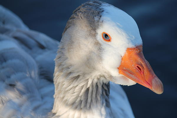 Goose Photograph - You Looking At Me by Lorri Crossno