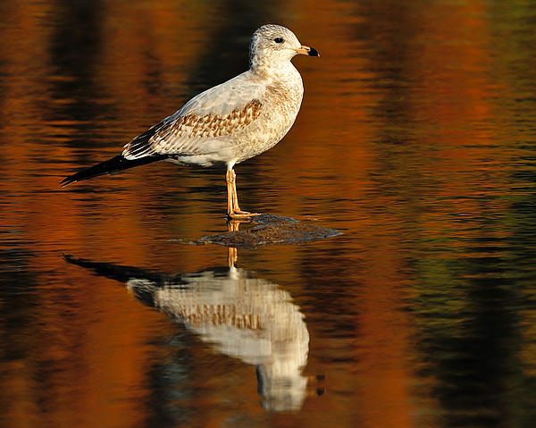 Ring-billed Gull Photograph - Youthful Reflections by Tony Beck