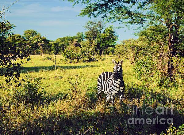 Africa Photograph - Zebra In Grass On African Savanna. by Michal Bednarek
