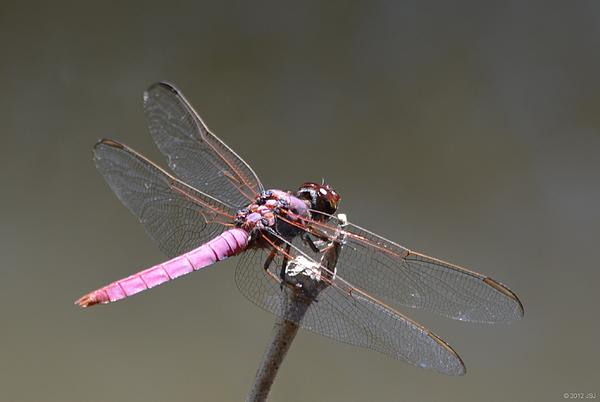 Pink Photograph - Zootography2 Pink Dragonfly by Jeff at JSJ Photography