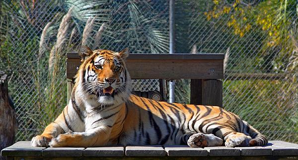 Tiger Photograph - Zootography3 Tiger In The Sun by Jeff at JSJ Photography