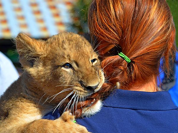 Zootography Photograph - Zootography3 Zion The Lion Cub Likes Redheads by Jeff at JSJ Photography