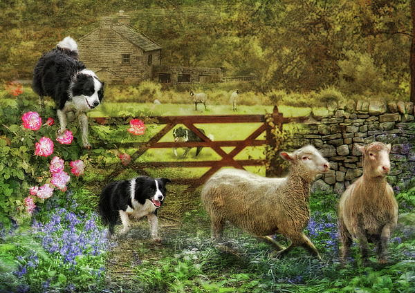Border Collie Photograph -  Collecting The Strays by Trudi Simmonds