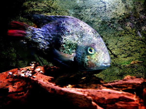 Colette Photograph - 1 Fish Living In Denmark by Colette V Hera  Guggenheim