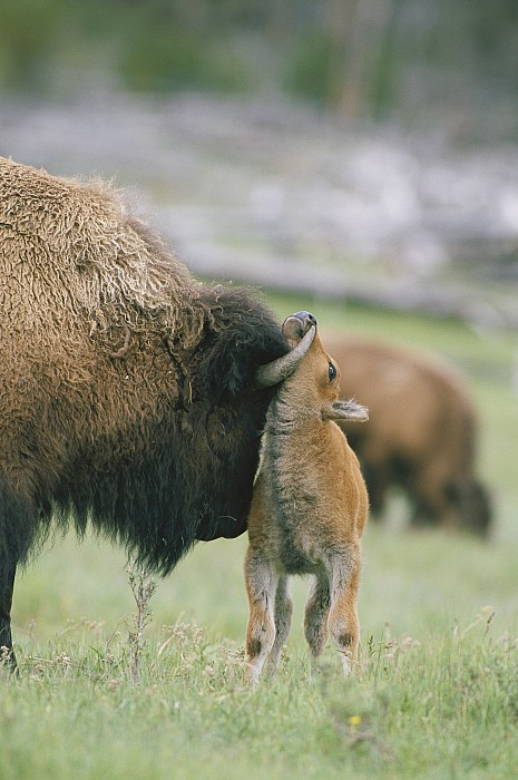 Husky Photograph - A Female Bison Bison Bison Stands by Tom Murphy
