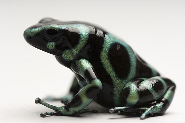 Nobody Photograph - A Green-and-black Poison Dart Frog by Joel Sartore