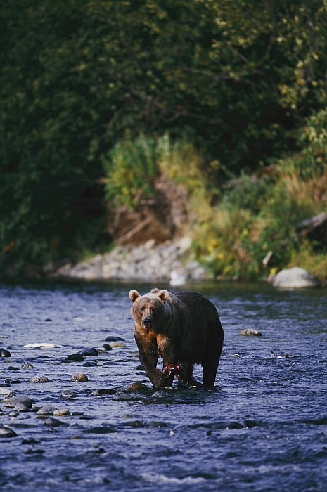 Kodiak Island Photograph - A Kodiak Brown Bear Ursus Middendorfii by George F. Mobley