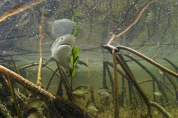Atlantic Ocean Photograph - A Lemon Shark Pup Swims Among Mangrove by Brian J. Skerry
