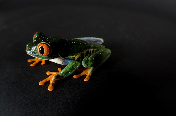 Property Released Photography Photograph - A Red-eyed Tree Frog Agalychnis by Joel Sartore