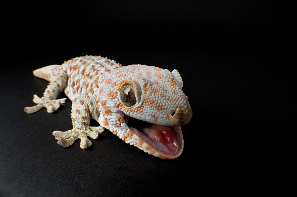 Nobody Photograph - A Tokay Gecko Gekko Gecko At The Sunset by Joel Sartore