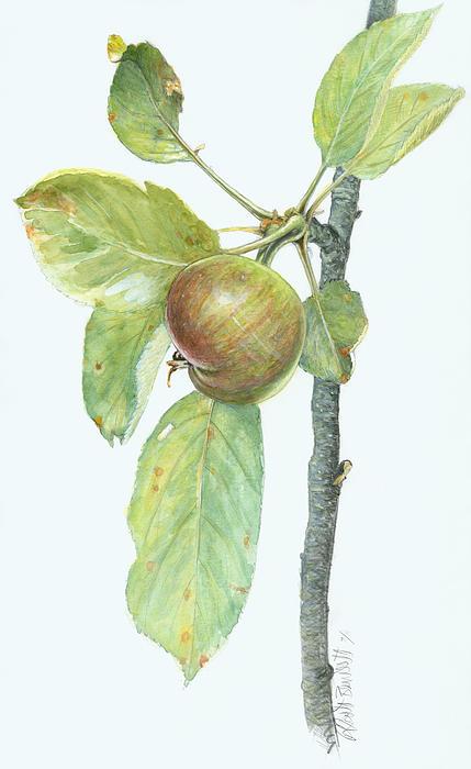 Apples Painting - Apple Branch by Scott Bennett