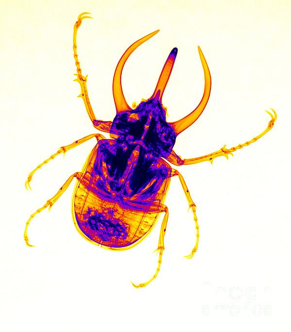 Beetles Photograph - Atlas Beetle X-ray by Ted Kinsman