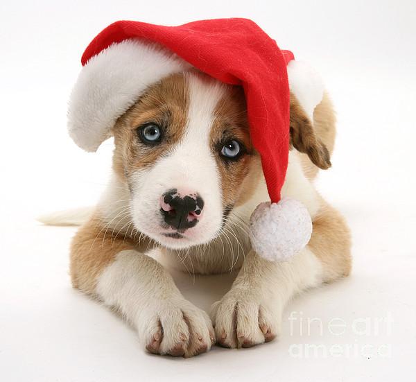 Christmas Photograph - Border Collie Puppy by Jane Burton