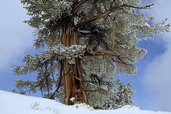 Great Basin Photograph - Bristlecone Pine Tree Blanketed In Snow by Tim Laman