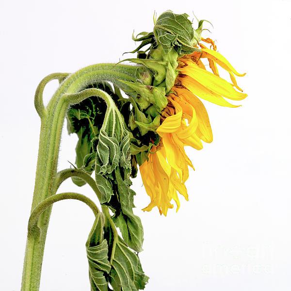 Sunflower Photograph - Close Up Of Sunflower. by Bernard Jaubert