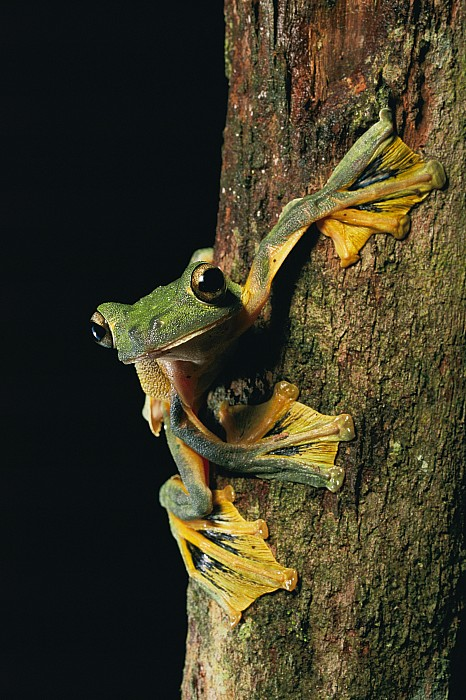 Borneo Island Photograph - Close View Of A Wallaces Flying Frog by Tim Laman