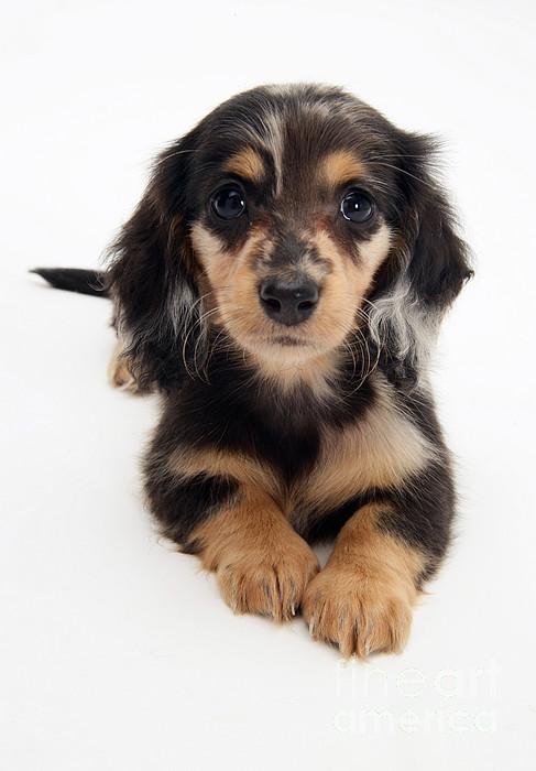 Animal Photograph - Dachshund Pup by Jane Burton