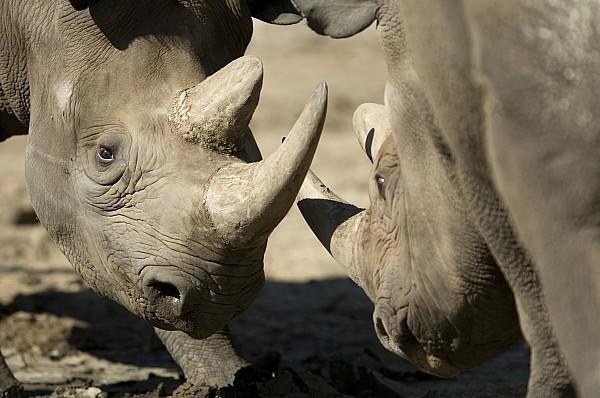 Nobody Photograph - Eastern Black Rhinoceros by Joel Sartore