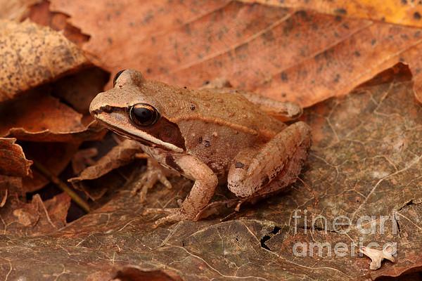 Fauna  - Eastern Wood Frog by Ted Kinsman