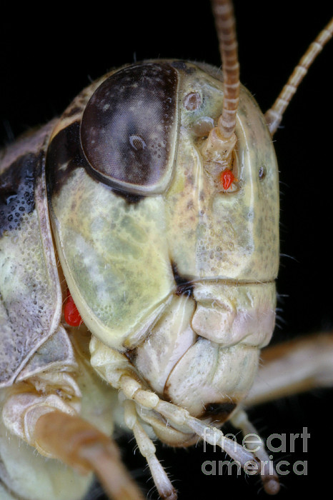 Animal Photograph - Grasshopper With Parasitic Mite by Ted Kinsman
